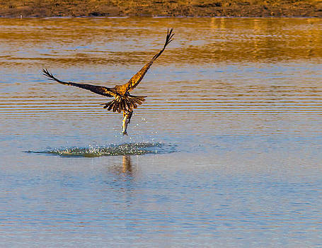 A Golden Eagle nailing a trout by Brian Williamson