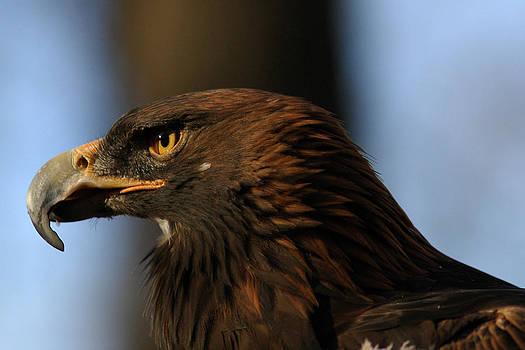 Raymond Salani III - A Golden Eagle