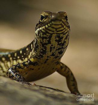 A Golden Skink by Blair Stuart
