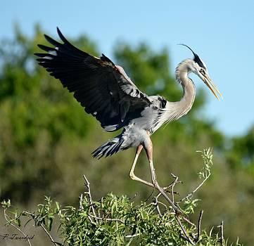 Patricia Twardzik - A Graceful Heron Landing