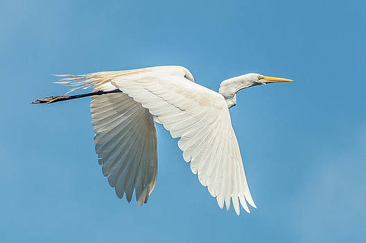 Charles Moore - A Great Egret Flying High THREE