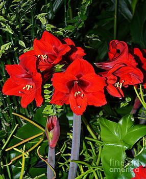 A Group of Amaryllis by Eva Thomas
