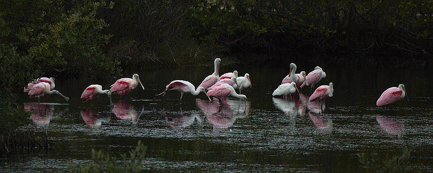 A Group of Spoonbill Roseates by Suzie Banks