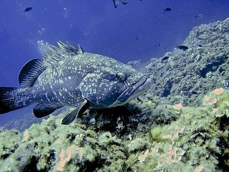 A grouper by Roberto Galli della Loggia