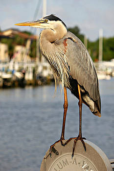 A heron in the Marina by Lynn Jordan