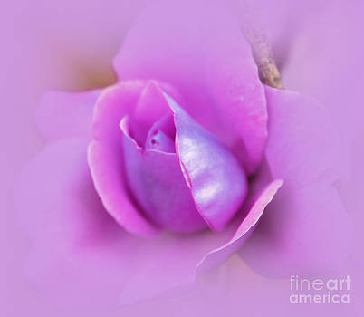 A Hint of Lavender Rose by Judy Palkimas