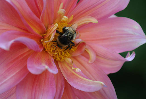 A Hungry Bee in the Pink Dahlia by Thomas D McManus