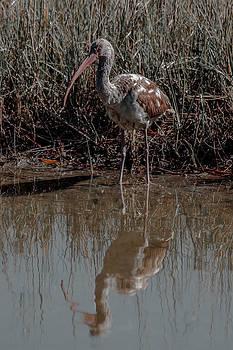 Charles Moore - A Juvenile White Ibis