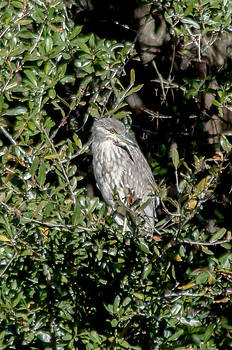 Charles Moore - A juvenile Yellow Crowned Night Heron keeps watch