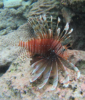A Lion Fish Posing by Sylvie Heasman