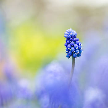 A Little Muscari Magic by Sarah-fiona  Helme