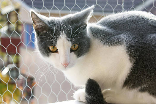 Tracey Harrington-Simpson - A Max And Mantle Bi Colour Cat