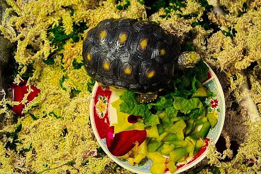 Sandra Pena de Ortiz - A New Home For A Juvenile Red Footed Tortoise