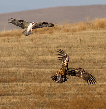 A Osprey and a Eagle fighting by Brian Williamson