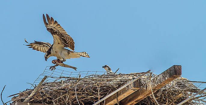 A Osprey feeding its young by Brian Williamson