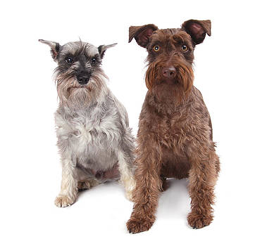 A Pair O' Schnauzers by Perry Harmon