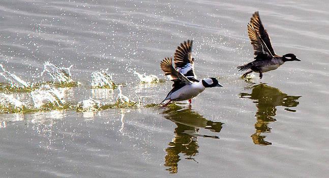 A Pair of Buffel Head Ducks by Brian Williamson