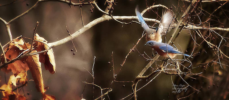A Pair of Eastern Bluebirds by Stanley Lupo