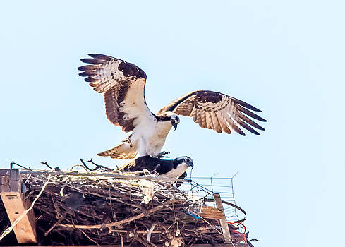A pair of Ospreys mating by Brian Williamson