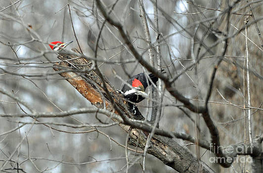 A Pair of Pileated Woodpeckers Forage in Winter by Maureen Cavanaugh Berry