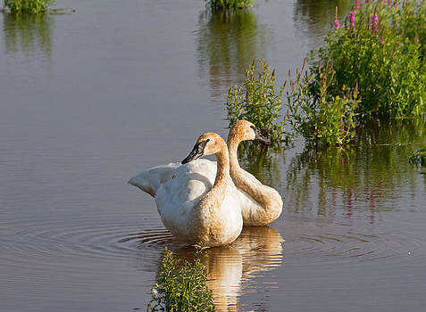 A Pair Of Swans by Wayne Stabnaw