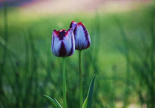 A pair of Tulips by M Gabo
