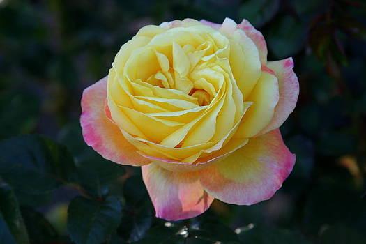 A Perfect Rose by Paula Tohline Calhoun