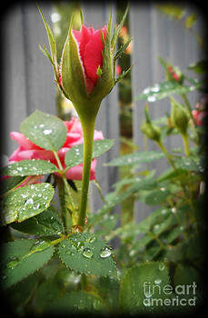 A Pink Rose Bud and Raindrops by Eva Thomas