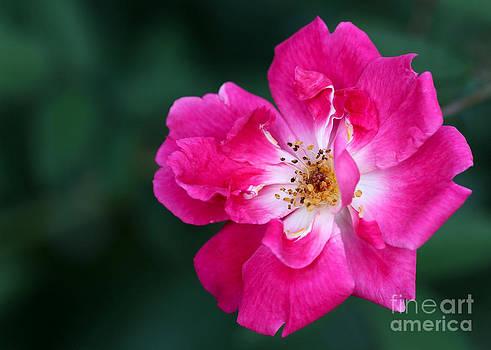 Sabrina L Ryan - A Pretty Pink Rose