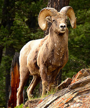 A Proud Bighorn Sheep by Qing Yang