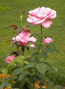 A Rose is A Rose by Bernadette Amedee