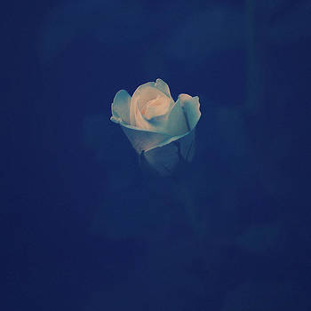 A Rose by Patrick Horgan
