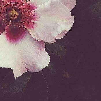 A Rose by Rebecca Guss