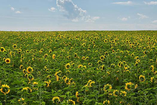 A Sea of Sunflowers by Matt Dobson