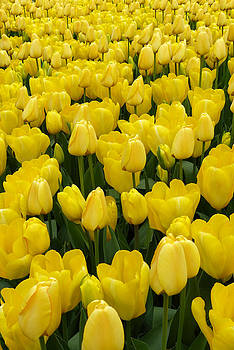 A Sea of Yellow by Cindy McDaniel