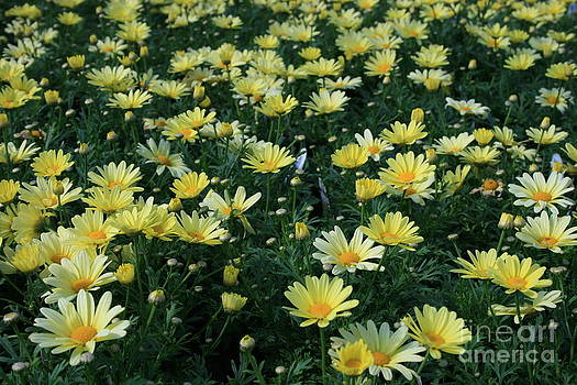 A Sea Of Yellow Daisys by Kathy DesJardins