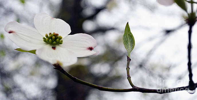 A Single Dogwood Blossom by Eva Thomas