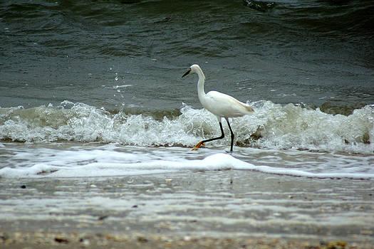 A Snowy White Egret Strolls down the beach of Helton Head Island by Kim Pate