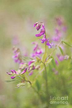 A spring vetchling .....Lathyrus vernus by Rosie Nixon