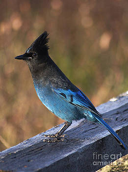 A Stellers Jay on the Boardwalk by Stanza Widen