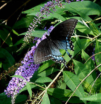 A Swallowtail on a Butterfly Bush by Eva Thomas