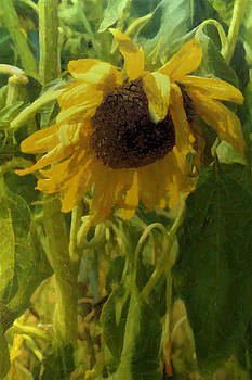 A Thirsty Sunflower by Michael Flood