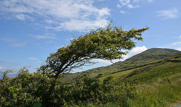 A Tree Bent by the Wind by Phil Darby