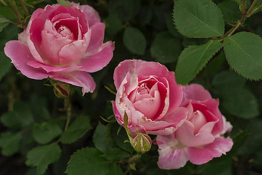 A Triplet Of Roses - Three Of A Kind by Michael Flood