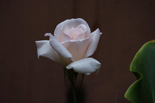 A White Rose From My Wifes Garden by Thomas D McManus