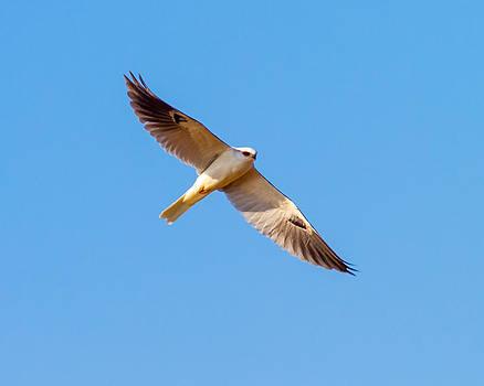 A White Tailed Kite by Brian Williamson
