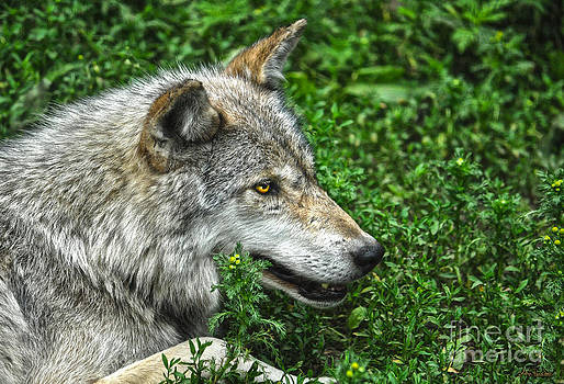 A Wolf in Portrait by Skye Ryan-Evans