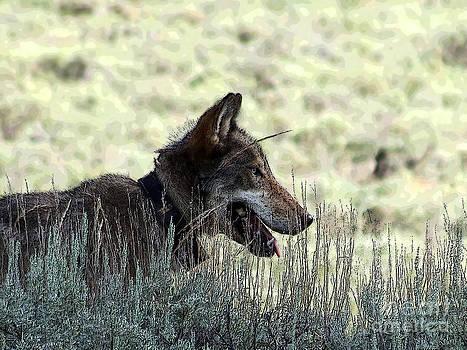 A Yellowstone Wolf. Modified Photo by Ausra Huntington nee Paulauskaite