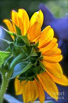 Abigail's Sunflower by Jay Nodianos