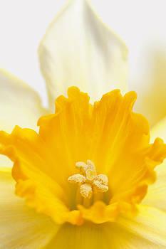Abstract Daffodil by Gillian Dernie